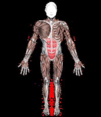 masse musculaire femme tableau